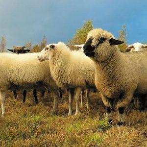 Sheep Scanning