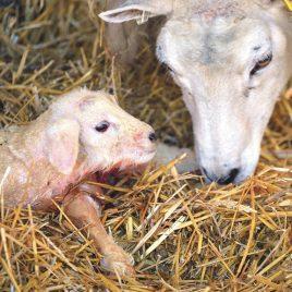 Lambing Techniques