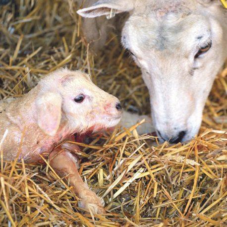 Image MV Lambing